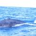 La bosse de la baleine