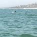 Requin cuivre sautant hors de l'eau
