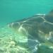 Requins rencontrés
